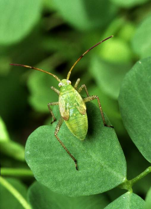 http://www.weforanimals.com/free-pictures/insects/insect-images/1/alfalfa%20plant%20bug,%20Adelphocoris%20lineolatus%20-%20Scott%20Bauer%20-%20usda.jpg